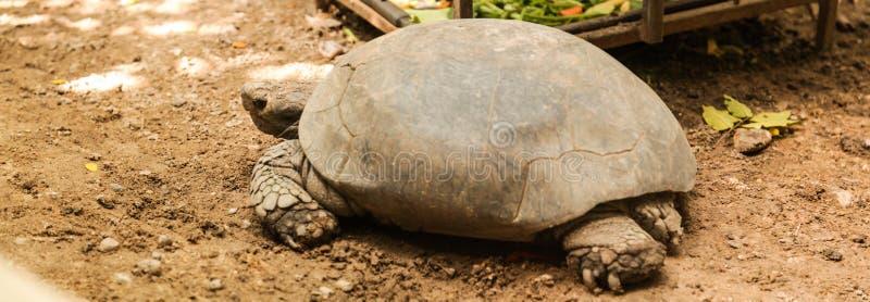 动物:缅甸玄武Manouria emys phayrei或缅甸山草龟主要在潮湿热带森林地区居住 免版税库存图片