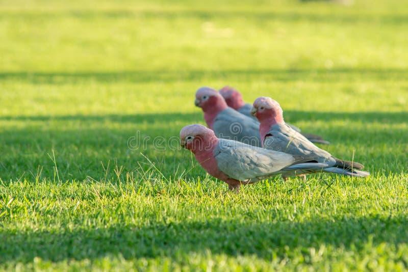 动物:鸟美冠鹦鹉在西部澳大利亚 库存照片