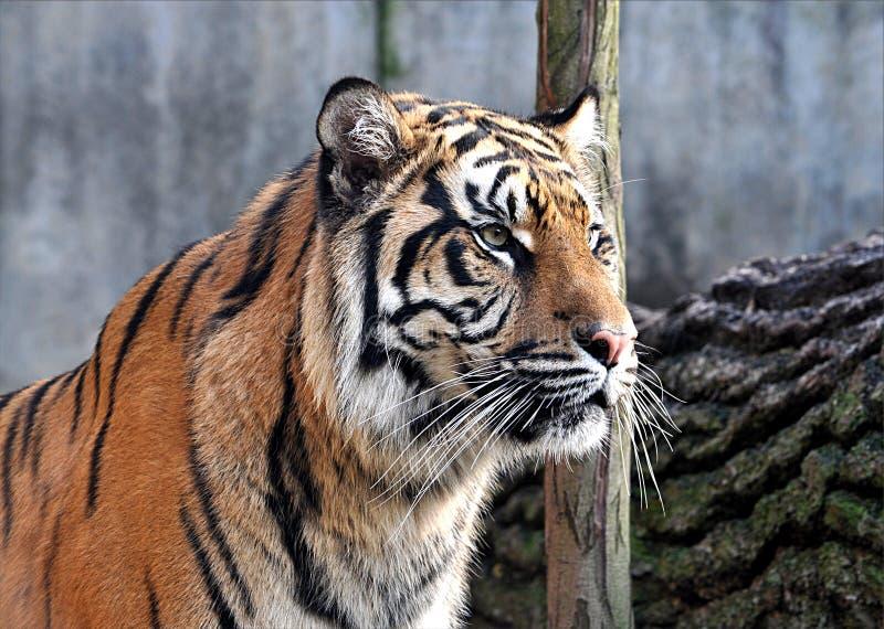 动物-老虎 免版税库存照片