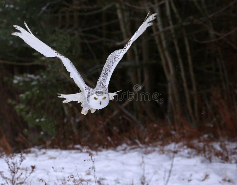 滑动的斯诺伊猫头鹰 免版税图库摄影