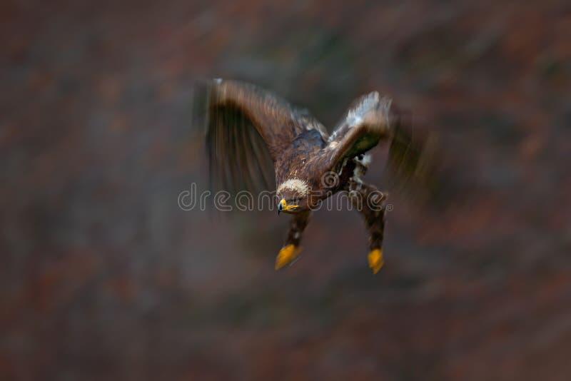 移动的行动场面,飞行的黑暗的肌力鸷干草原老鹰,天鹰座nipalensis,与大翼展,斯洛伐克 图库摄影