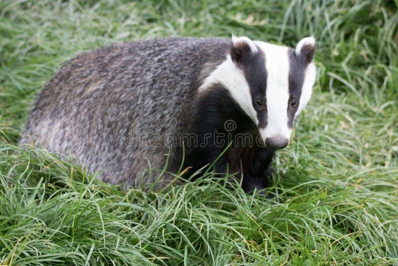 移动通过草原的搜寻英国獾在傍晚 图库摄影