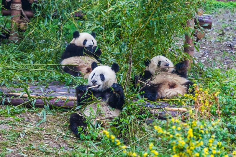 助长研究基地,成都,中国的大熊猫 库存图片