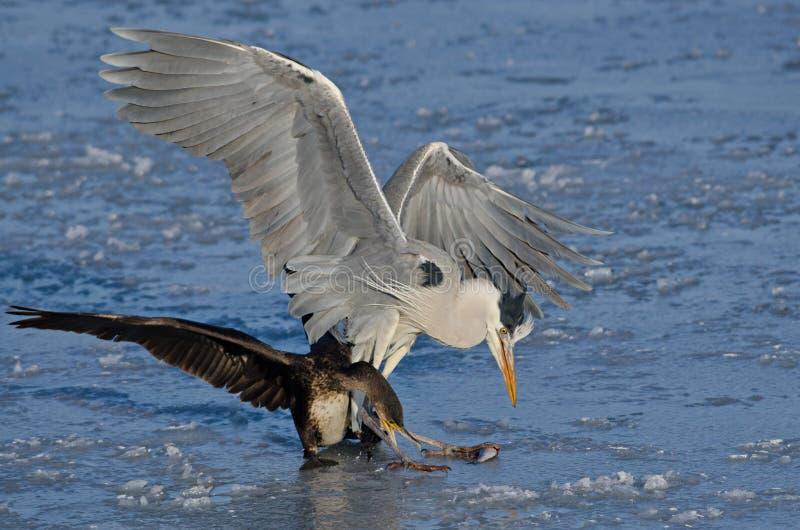 努力的苍鹭和的鸬鹚吃鱼 库存图片