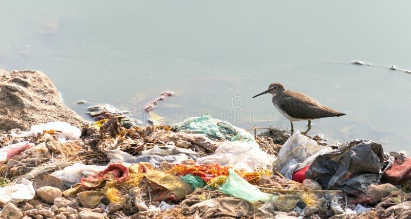 努力长嘴鸟的长嘴半蹼鹬生存由于污染