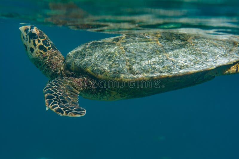 努力去做表面的乌龟在马尔代夫 库存图片