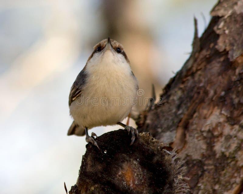 势利的鸟 免版税库存图片