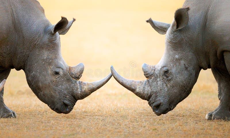 势均力敌的白犀牛 免版税库存照片