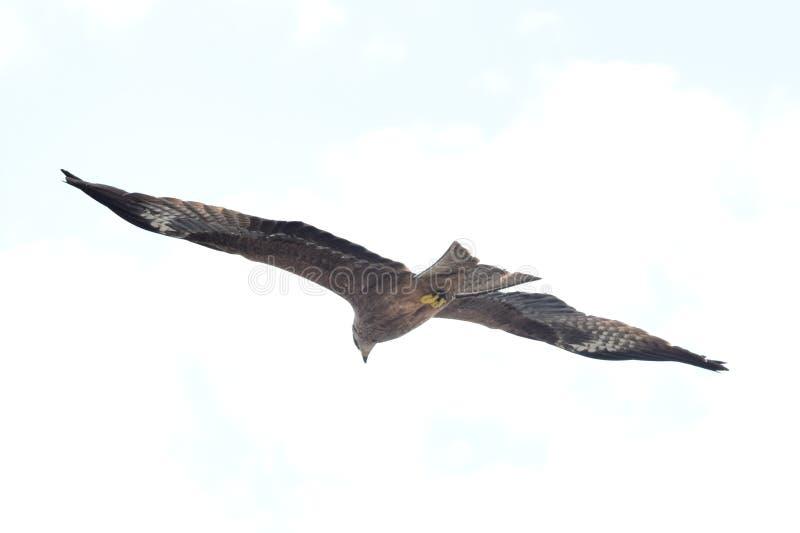 勇敢的喜马拉雅老鹰,飞行高 库存图片