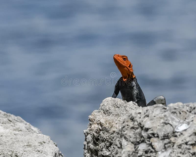 勘测他的世界的公非洲蜥蜴 免版税库存图片