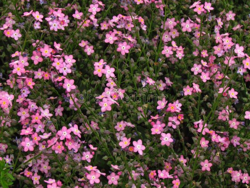 勿忘草,桃红色品种,植物学名字勿忘我草sylvatica 免版税库存照片