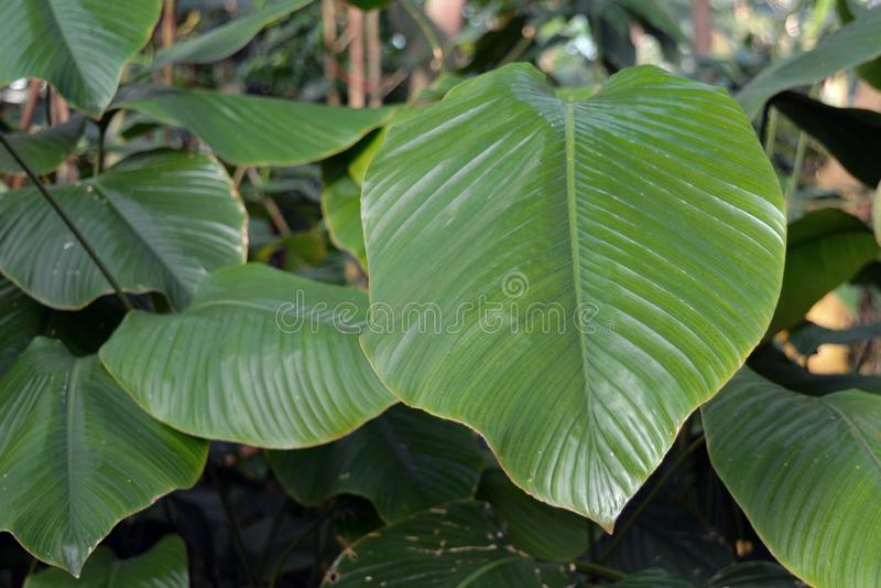 包含强烈地甜蛋白质的fo大的非洲人Marantacea奇迹球菌Daniellii植物的关闭用于sw的发展 免版税图库摄影