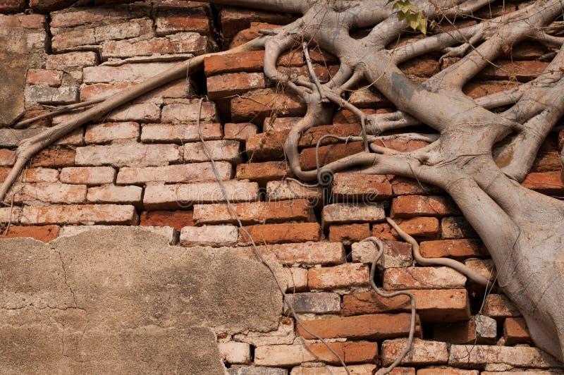 包括墙壁的榕属树干根 免版税库存照片