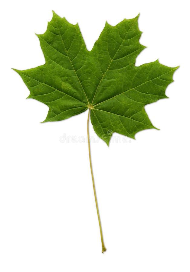 Download 包括的叶子槭树路径 库存图片. 图片 包括有 叶子, 路径, 槭树, 要素, 本质, 结构树, 绿色, 查出 - 184899