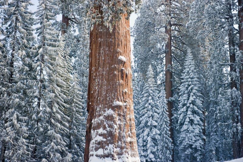 包括的巨型美国加州红杉雪结构树 免版税库存图片