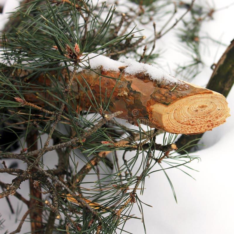 包括的雪云杉 针用雪盖 木头裁减 免版税库存图片