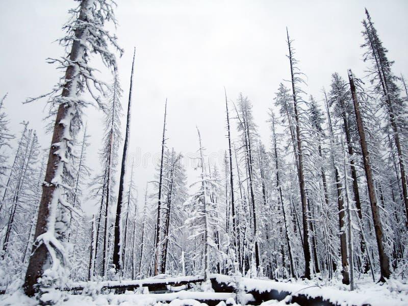 包括的雪结构树 库存图片