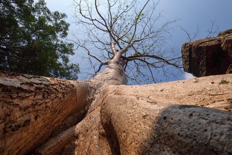 包括石prasat塔布茏寺的大榕树根在吴哥城 图库摄影