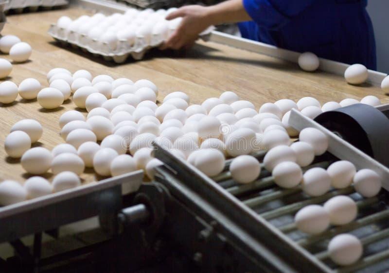 包装和排序鸡鸡蛋在特别盘子的从传动机,特写镜头,过程一个家禽场 免版税图库摄影