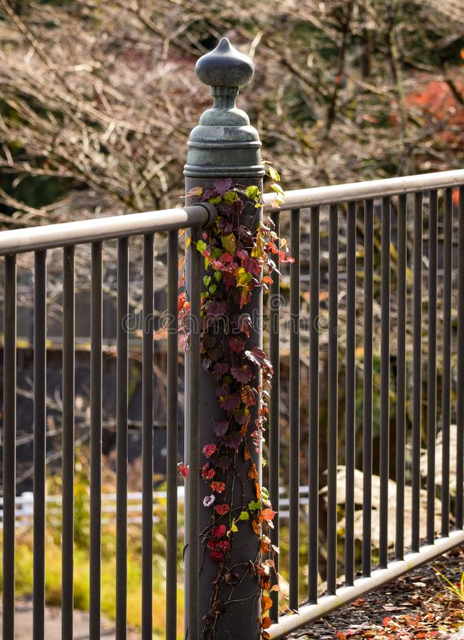 包裹在金属篱芭,日光日本附近的多彩多姿的藤 库存照片