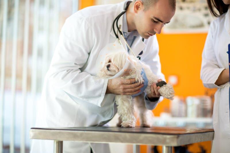 包裹绷带的狩医在小狮子狗附近's疼的爪子 免版税库存图片