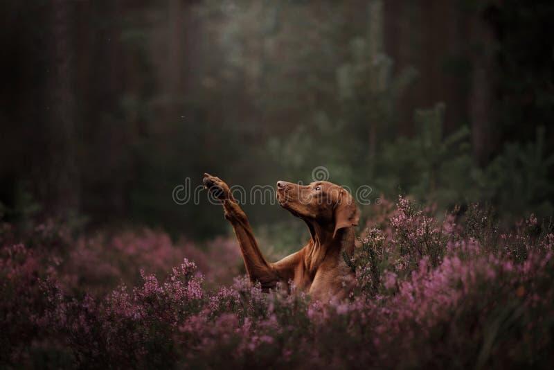 匈牙利品种狗 宠物给在花的爪子 夏天 免版税库存图片