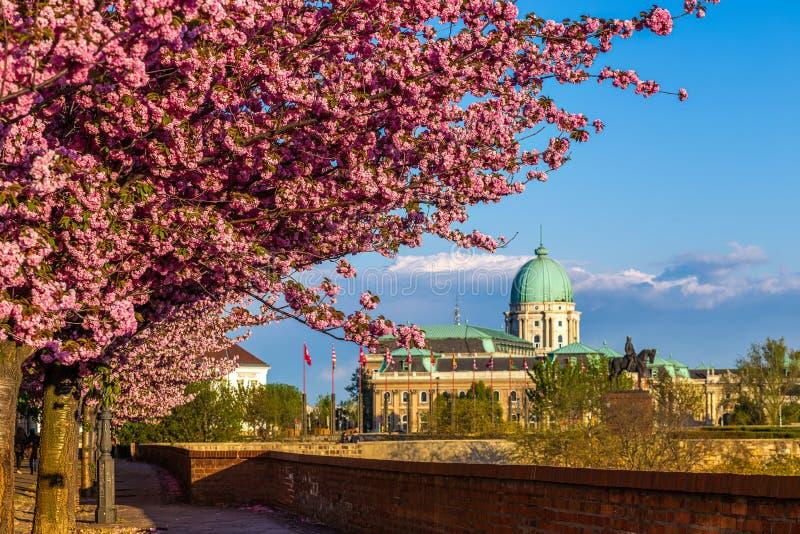 匈牙利布达佩斯 — 城堡区Arpad Toth长廊Toth Arpad街的美丽粉色樱桃树开花 图库摄影
