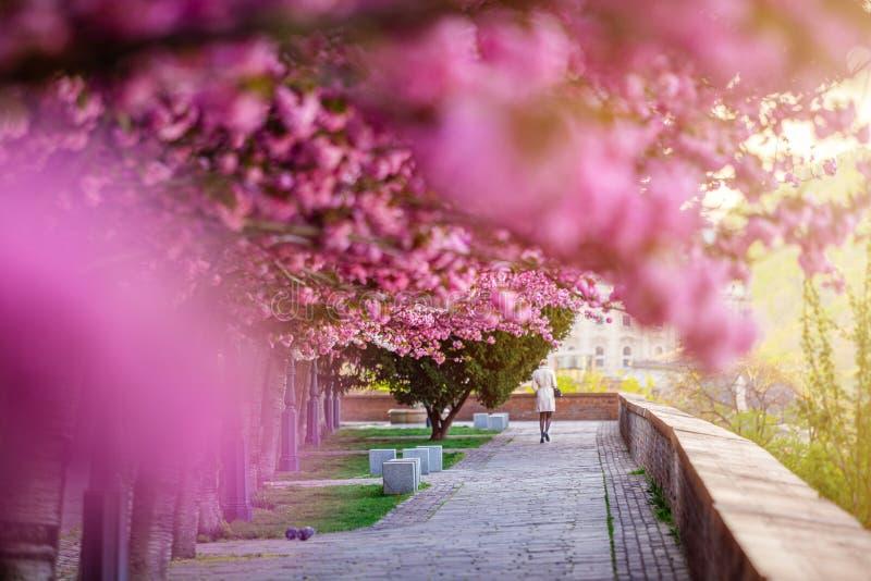 匈牙利布达佩斯 — 空荡荡的Arpad Toth Promenade Toth Arpad Setany大道上,樱桃树绽放着粉色的日本樱桃 免版税库存图片