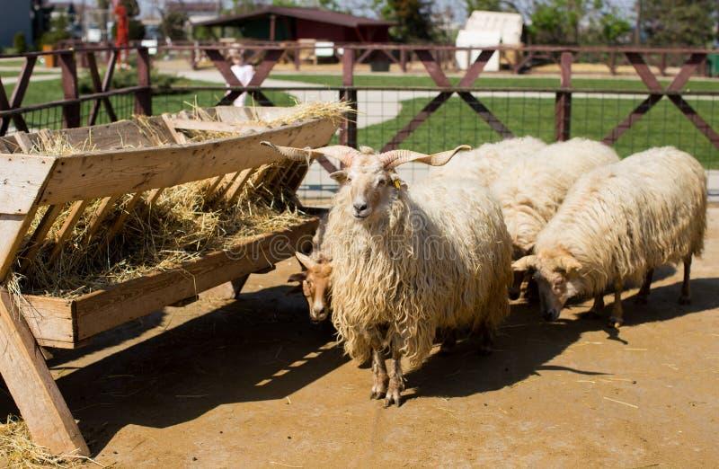 匈牙利racka绵羊 免版税图库摄影
