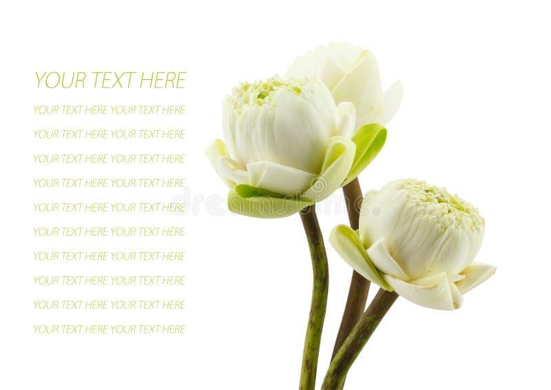 绿化三朵莲花开花隔绝在白色背景 免版税库存图片