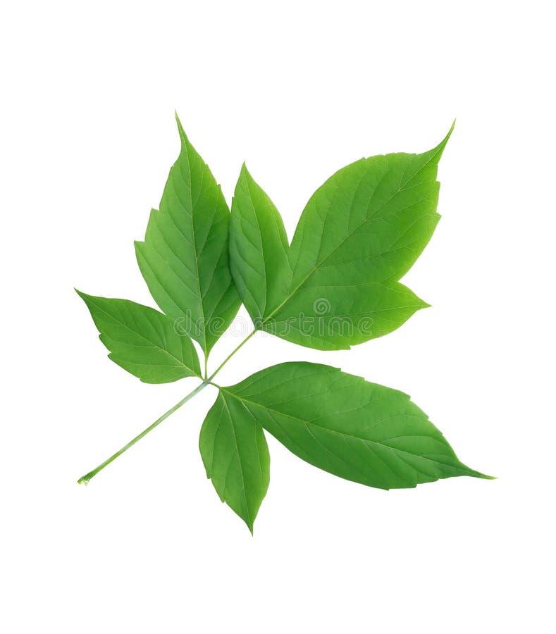 Download 绿化查出的叶子 库存图片. 图片 包括有 工厂, 查出, 绿色, 增长, 生态, 本质, 植物群, 生活方式 - 72355461