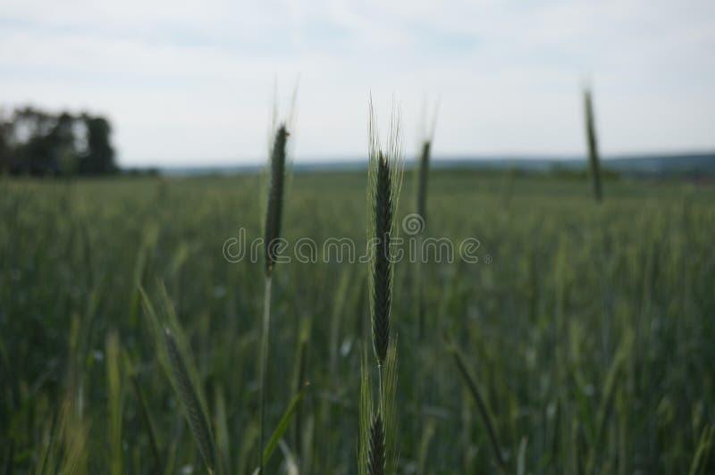 绿化玉米田 免版税库存照片