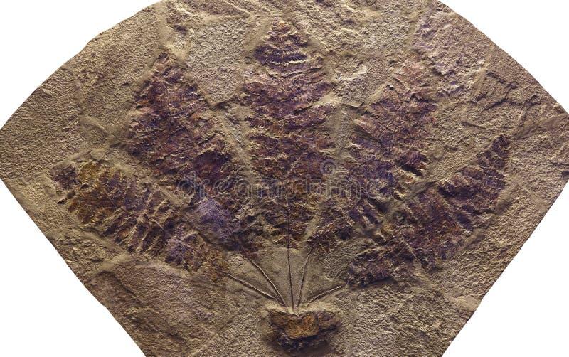 化石植物 免版税库存图片
