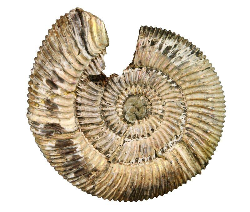 化石海运壳 免版税库存图片