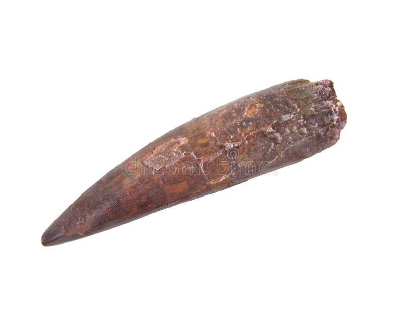 化石牙 免版税库存图片