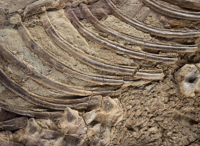 化石详细资料 免版税库存图片