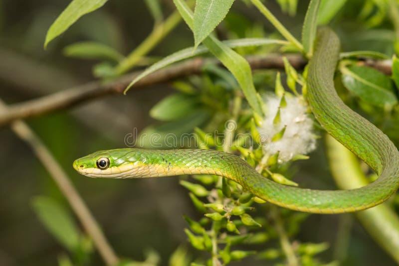 绿化粗砺的蛇 库存照片