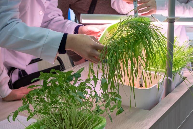 化验员措施麦芽的手与统治者的 概念健康生活方式 生物教室与实验室的 免版税库存图片