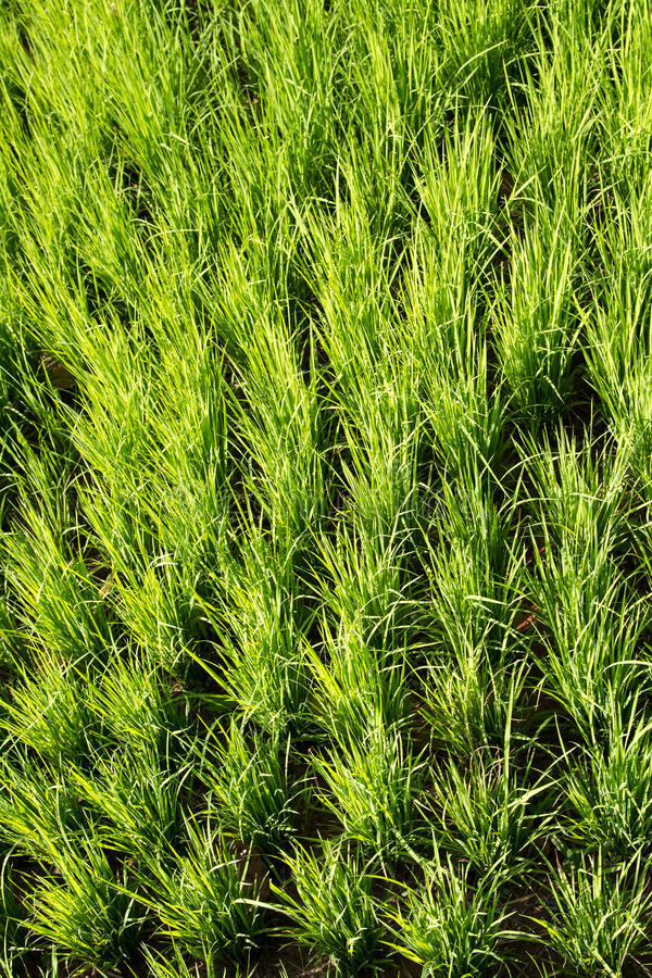 绿化水稻 库存图片