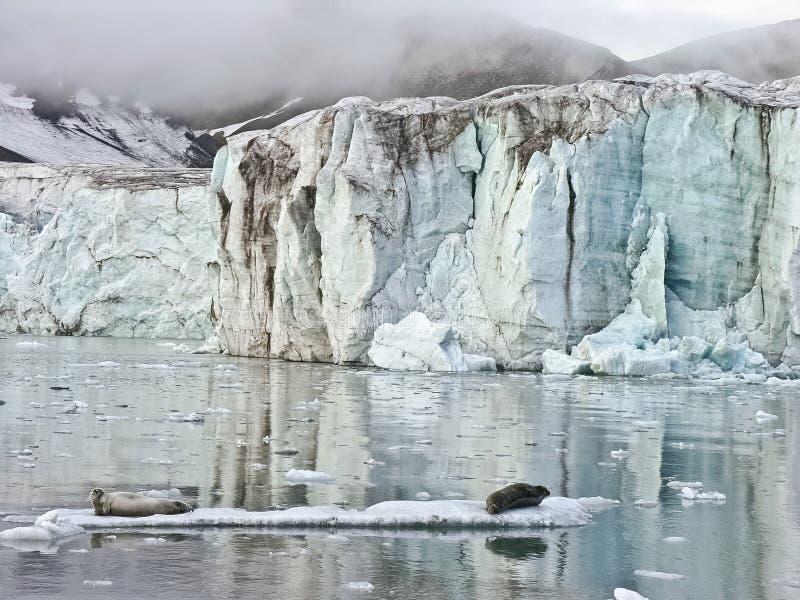 北冰的海运密封 图库摄影