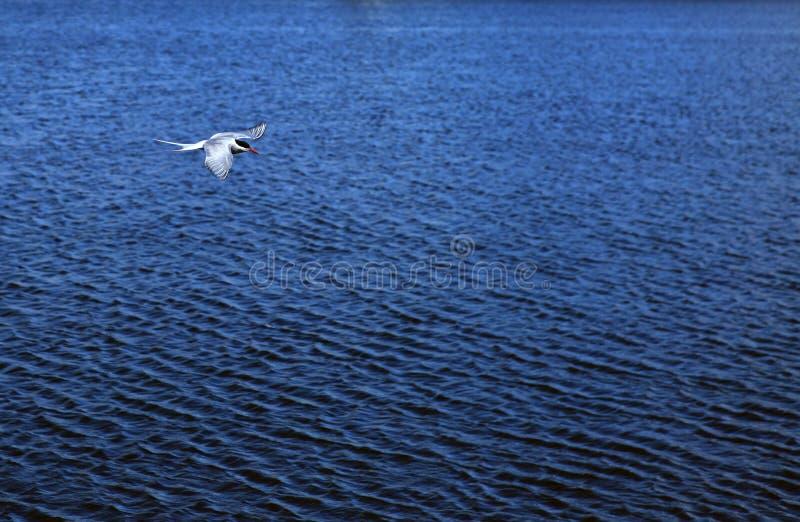 北冰的燕鸥 库存照片