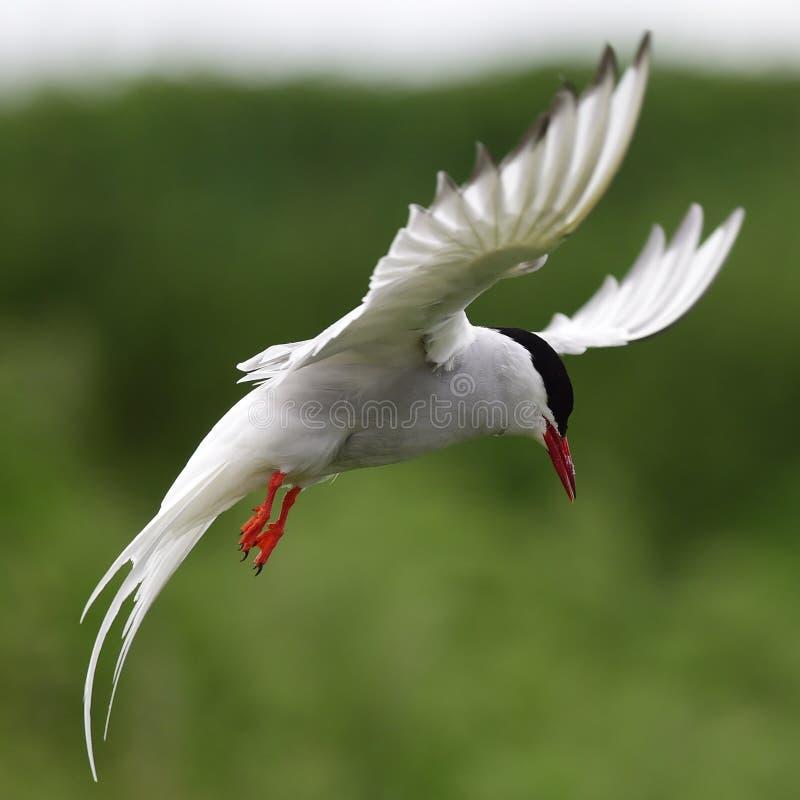 北冰的燕鸥 免版税库存图片
