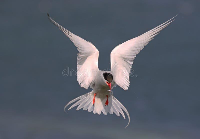 北冰的燕鸥 免版税库存照片