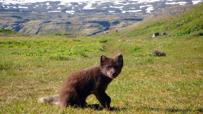 北冰的狐狸在Hornstrandir 免版税库存图片