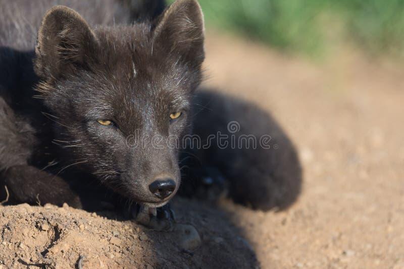 北冰的狐狸,西部海湾,冰岛 免版税库存图片