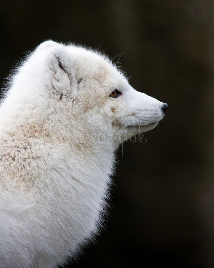 北冰的狐狸 免版税图库摄影