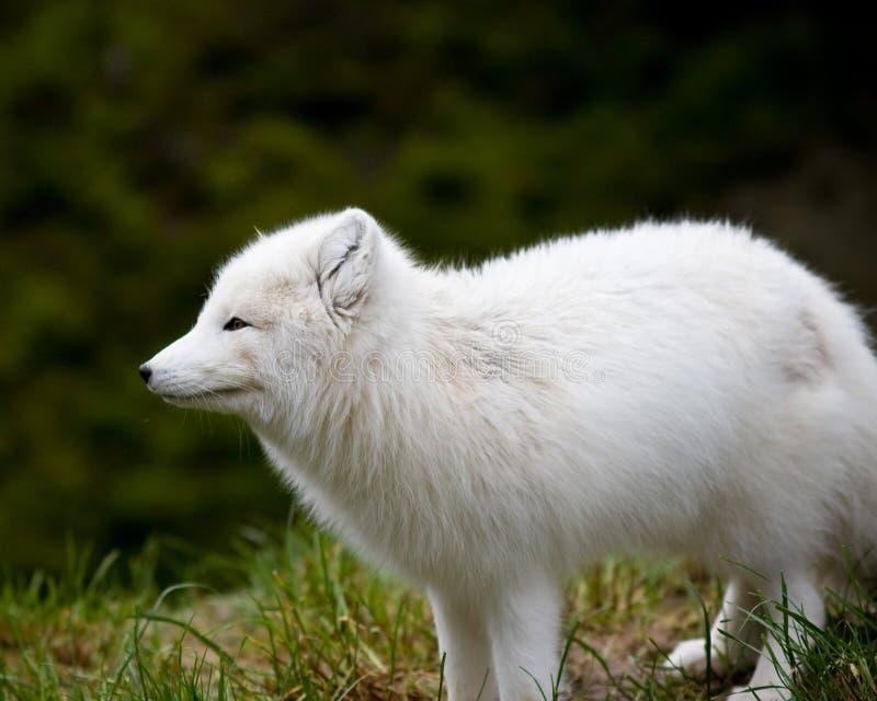 北冰的狐狸 免版税库存图片