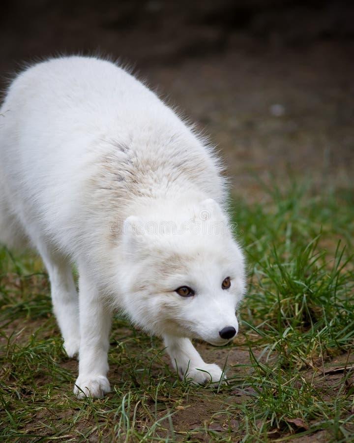 北冰的狐狸 免版税库存照片