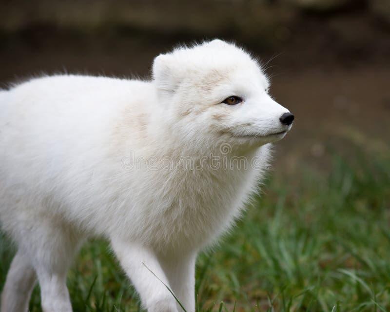 北冰的狐狸 库存图片