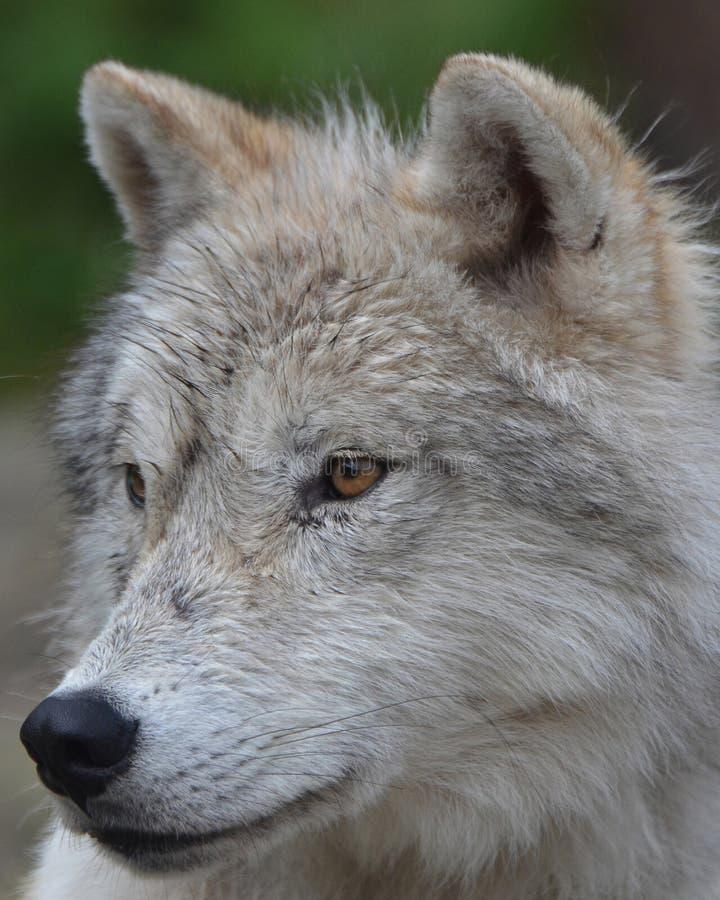 北冰的狼 图库摄影
